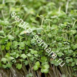 Горчица Аригато микрозелень