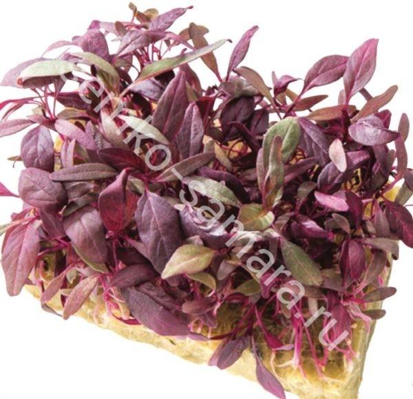 семена микрозелени амаранта Ред Калулу