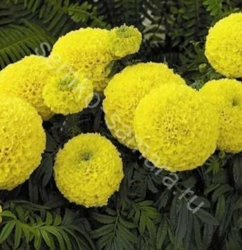 Бархатцы Желтая головка