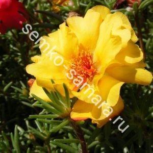 Портулак крупноцветковый. Солнечная страна золотой