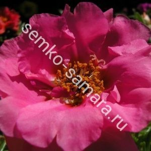 Портулак крупноцветковый. Солнечная страна розовый