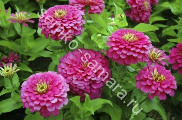 Цинния Волшебная роза георгиноцветковая