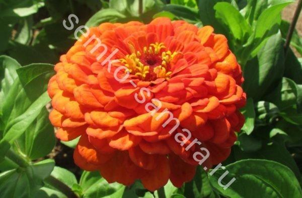Цинния Оранжевый король георгиноцветковая