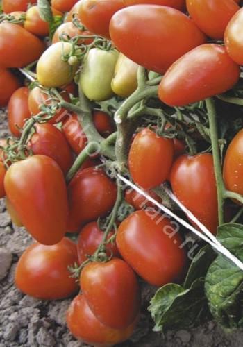 томат диабоик