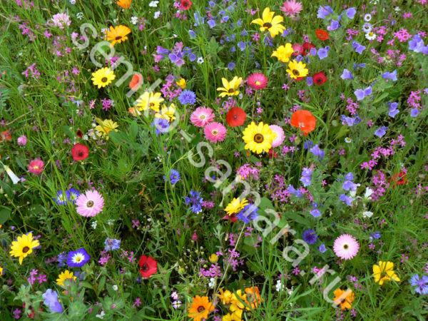 Газонная трава Цветущий луг