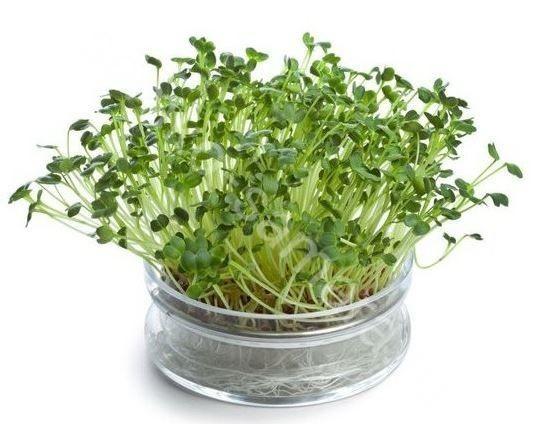 Капуста Брокколи Линда микрозелень