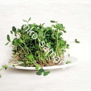 Солерос микрозелень